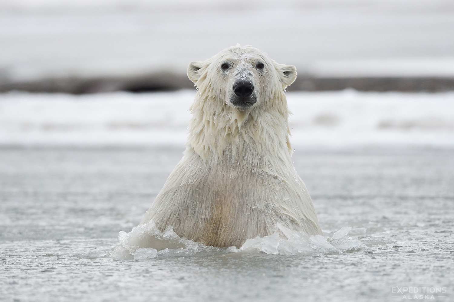 A Polar Bear Breaks Thru The Ice.