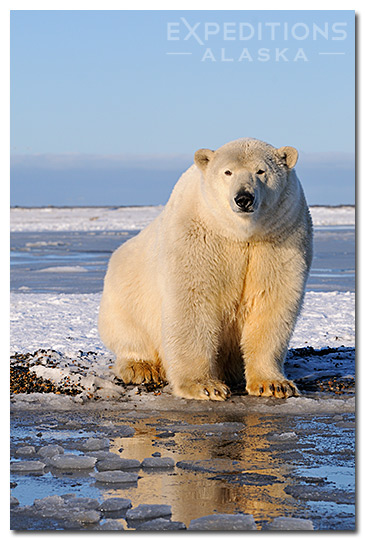 Polar bear female