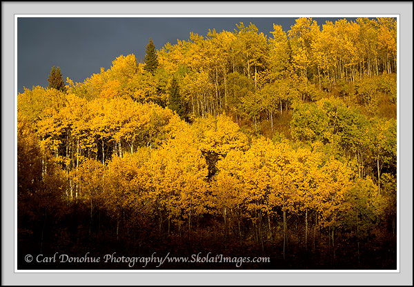 Fall color aspens hardwood forest british columbia canada for Columbia flooring canada