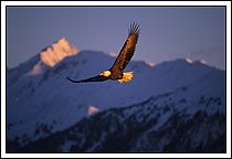 American Bald Eagle Soaring And Vocalizing