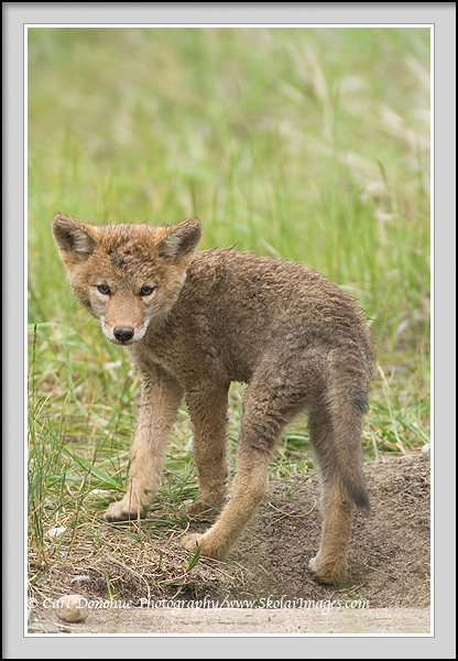 Baby Coyotes | www.imgkid.com - The Image Kid Has It!