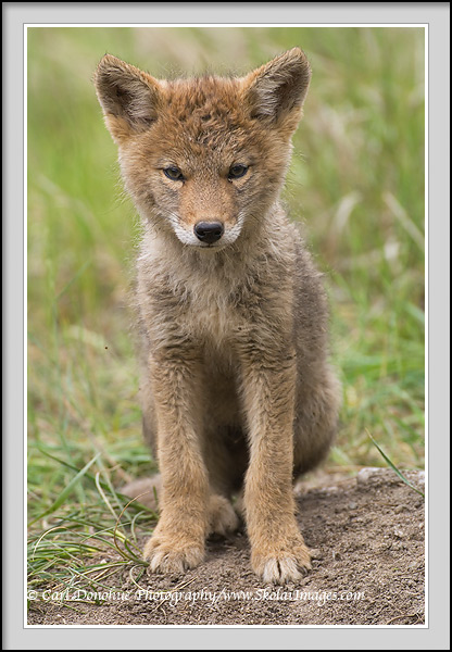 Baby coyote photo | Stock photo of coyote puppy, Jasper Park.