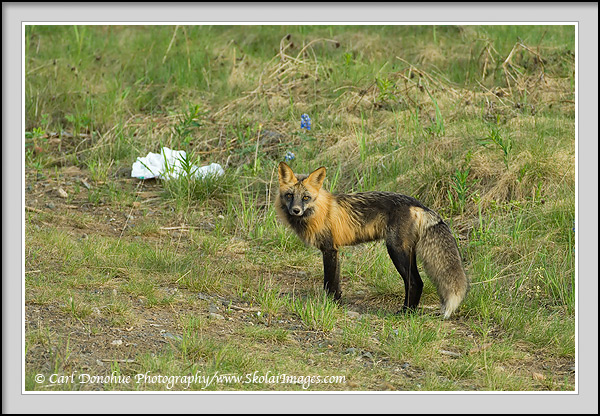 Cross fox adult, British Columbia, Canada. Cross fox adult, trash bag,