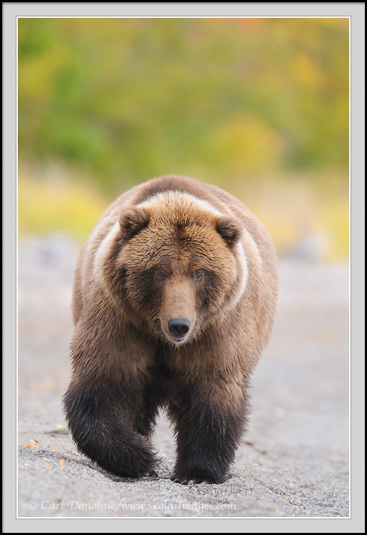 Grizzly bear walking - photo#27