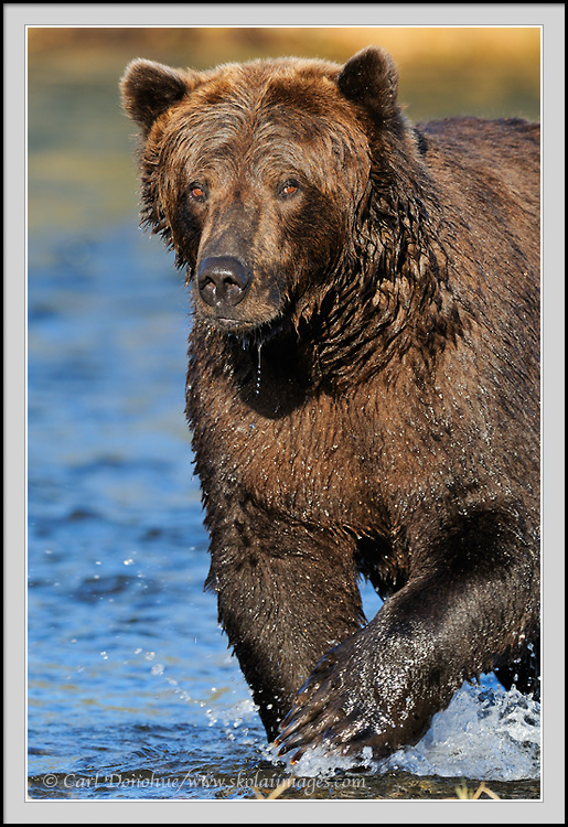 Grizzly bear walking - photo#20