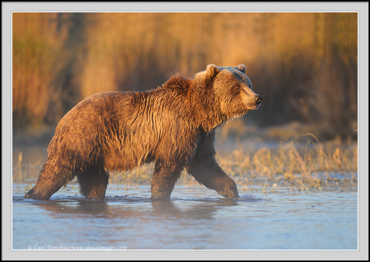 Grizzly bear walking - photo#2