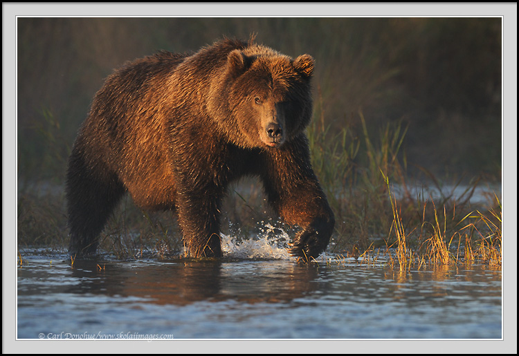 Grizzly bear walking - photo#8