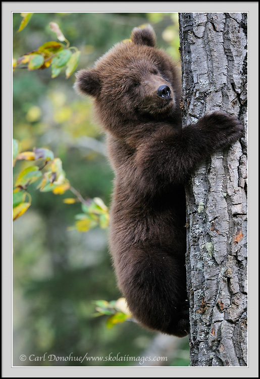 Grizzly bears cubs - photo#19