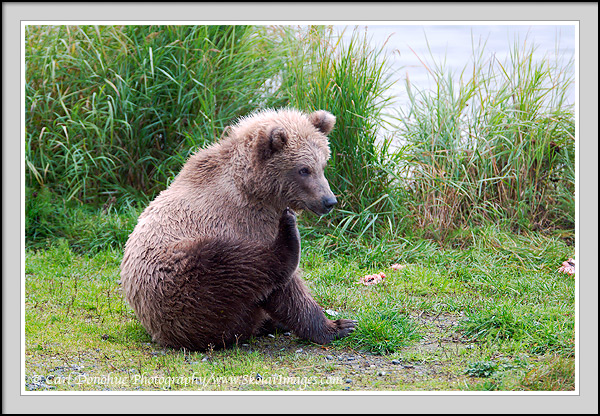 Grizzly bear sitting up - photo#11