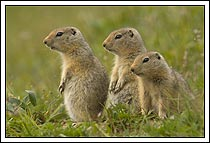 3 baby arctic ground squirrels survey the land, Wrangell - St. Elias National Park, Alaska