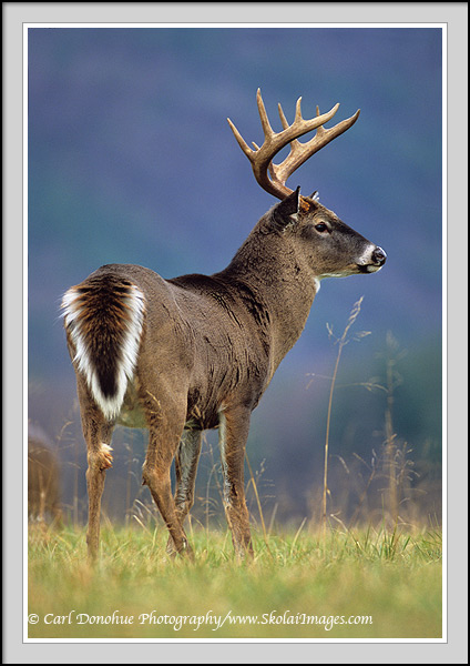 An 11 point whitetail deer buck standing in a field, Cades Cove, Great Smoky Mountains National Park, Tennessee.