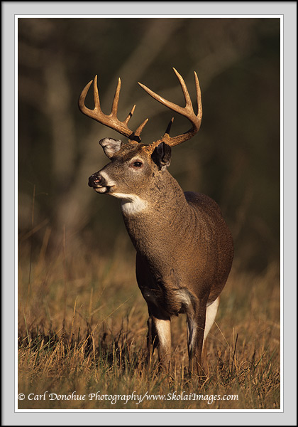 a 10 point whittail buck stands in the early morning light, Cades Cove, Great Smoky Mountains National Park, Tennessee.