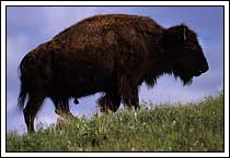 Young bull bison, Custer State Park, South Dakota
