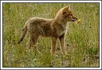 Coyote Pup, smelling wildflower, Jasper National Park, Alberta, Canada