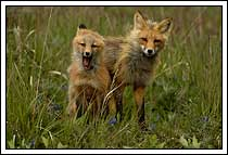 Red fox kit with mother, Wrangell-St. Elias NP, Alaska