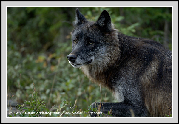 black wolf photo, denali photos, Denali National Park, Alaska