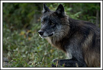 Wild black wolf, Denali National Park, Alaska