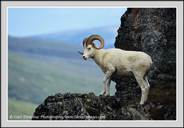 Dall sheep ram, standing on ridge, Denali National Park, Alaska