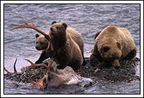 Grizzly bear, with cubs, on wolf-killed caribou, Denali National Park, Alaska