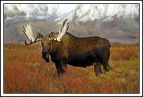 Bull Moose, fall colors, Tundra, Denali National Park, Alaska
