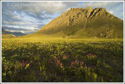Arctic Lupine and an unnamed mountain, ANWR, Alaska