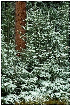 Spruce forest in Snow, Lewis and Clark National Forest, Montana