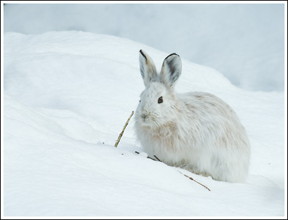 snowshoe hare in white winter coat, on snow eating a willow stem, wrangell st. Elias National Park, Alaska.