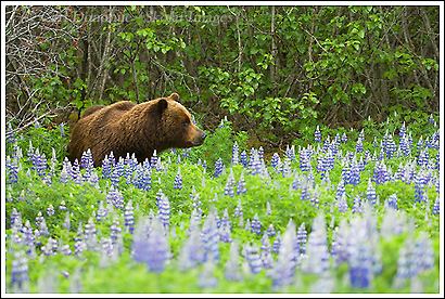 Grizzly bear in a field of lupine, Icy Bay, Wrangell - St. Elias National Park, Alaska.