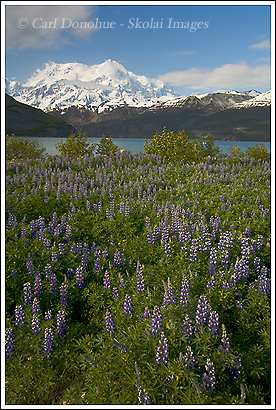 Mt. St. Elias and a field of lupine, Icy Bay, Wrangell - St. Elias National Park, Alaska.