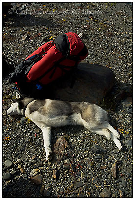 3 legged dog laying down, Loki, husky, Alaska.