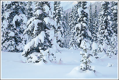 Snow covered white spruce trees in winter, boreal forest, taiga, Wrangell - St. Elias National Park, Alaska.