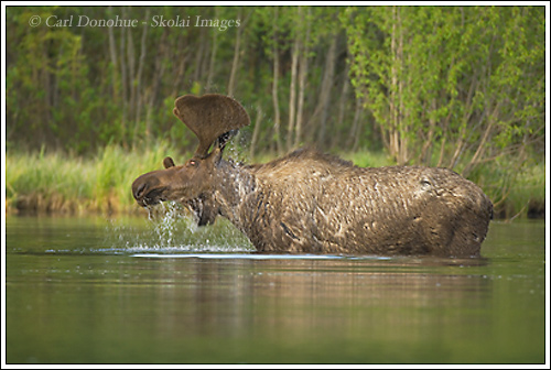 Bull Moose (Alces alces) shaking water from antlers, in a lake, springtime, Wrangell - St. Elias National Park, Alaska.