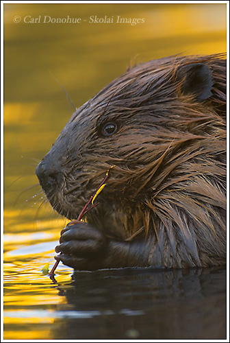 An adult beaver browsing on willow leaves in a pond, Wrangell - St. Elias National Park, Alaska.