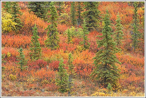 Fall colors glow in the boreal forest, Wrangell - St. Elias National Park, Alaska.