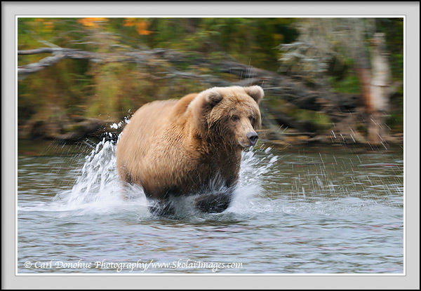 A slow shutter speed blurs the speed of a grizzly bear chasing a Sockeye Salmon in Brooks River, Katmai National Park, Alaska.