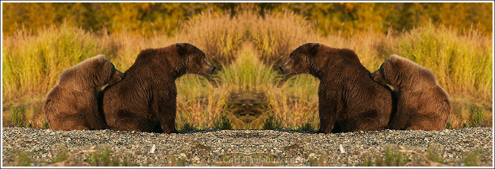 A digital composite of a grizzly bear sow and cub, flipped and doubled.