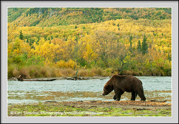 A grizzly bear stands poised beside Brooks River, vibrant fall colors in the background, as he fishes for Sockeye Salmon. Katmai National park and Preserve, Alaska.