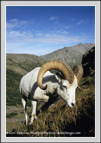 A dall sheep ram approaches while it grazes on the high alpine tundra, DenalI National Park and Preserve, Alaska.