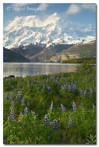 Mount St. Elias and Nootka lupine, (Lupinus nootkatensis) Icy Bay