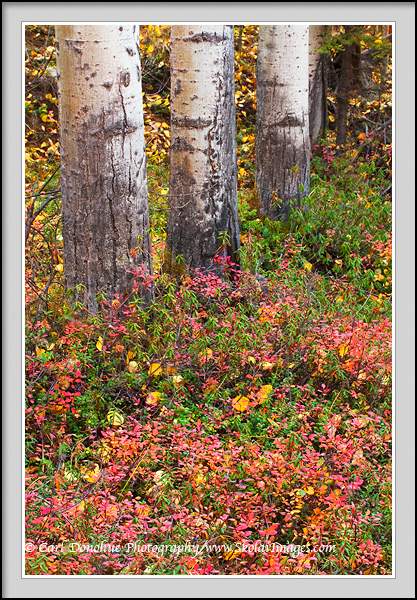 Fall in the boreal forest, aspen tree trunks, Wrangell - St. Elias National Park and Preserve, Alaska.