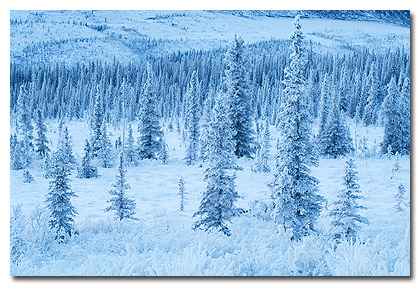 Snow covered spruce trees in the boreal forest, Wrangell St. Elias National Park, Alaska.