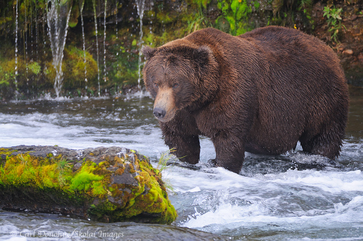 Male grizzly bear, brown bear photo, Katmai National Park, Alaska.