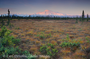 Fall colors on the tundra and alpenglow on the face of Mt Sanford at dawn, Wrangell - St. Elias National Park and Preserve, Alaska.