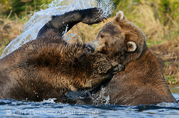 2 young grizzly bears fighting in a salmon stream. Rarely do real vicious fights break out, but when they, these well-armed opponents can do some serious damage to one another. Grizzy bears, or coastal brown bears (Ursus arctos), playfight in Katmai National Park and Preserve, Alaska.
