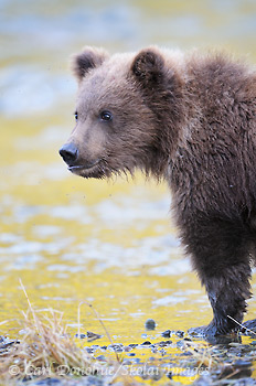 A young brown bear (Grizzly bear, Ursus arctos) cub. Brown bear cubs will stay with their mother for 2-3 years before venturing out alone. Brown bear cub, Katmai National Park and Preserve, Alaska.