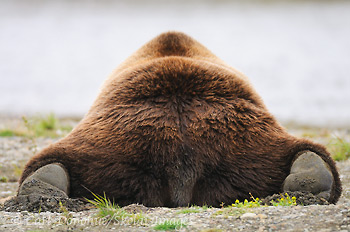 Grizzly bear, from behind.