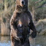 Stock photo of a brown bear sow, standing upright, in Brooks River, Katmai National Park, Alaska.