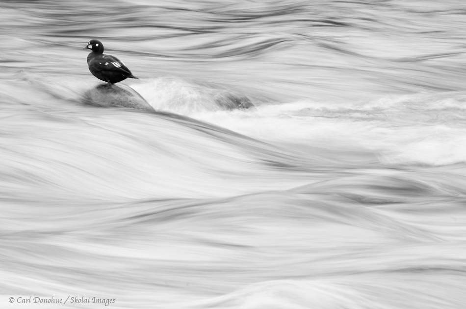 Black and white photo of a male Harlequin Duck, on a rock in Brooks River, Katmai National Park, Alaska.