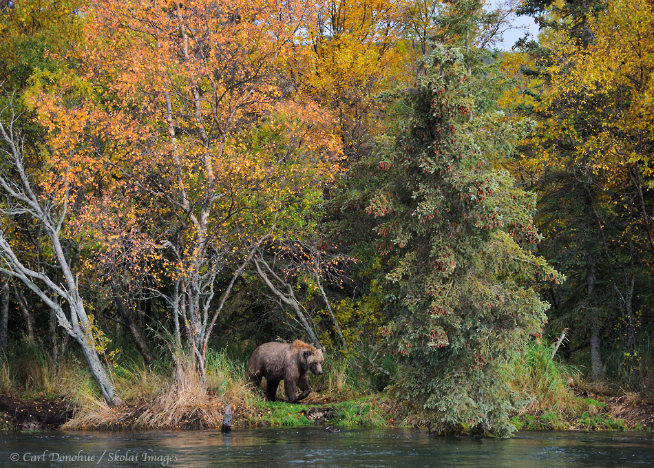 Brown bear in the forest, fall colors, searching for salmon in a river. Brown bear (Ursus arctos) Katmai National Park and Preserve, Alaska stock nature photo.