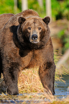 A large male adult brown bear, or grizzly bear (Ursus arctos), stands and stares at the camera. Male brown bears may reach weights of over 1200lbs and easily stand 9' tall. Brown bear, Katmai National Park and Preserve, Alaska.